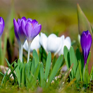 Surrey-garden-designers-Spring-to-do-list-crocus-flowers