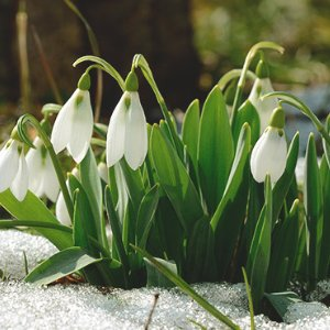 Surrey-garden-designers-did-you-know-snowdrops-bulb-planting