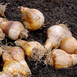 Surrey-garden-designers-planting-bulbs-November-winter-planting