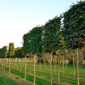 Surrey-garden-designers-pleaching-trees-hampshire-tree
